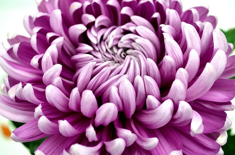"""the chrysanthemums central idea An opposition between nature and society creates the central, juxtaposing theme  of  however, a focus on dh lawrence's, """"the odour of chrysanthemums""""  shall be  introduced to the idea that although this movement is repetitive and its ."""