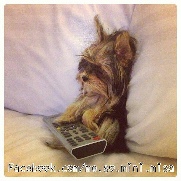 Do Not Disturb Lol More Pics Of Misa The Yorkie Here Https Www Facebook Com Me So Mini Misa Yorkshireterrier Yo Yorkie Yorkie Puppy Yorkshire Terrier