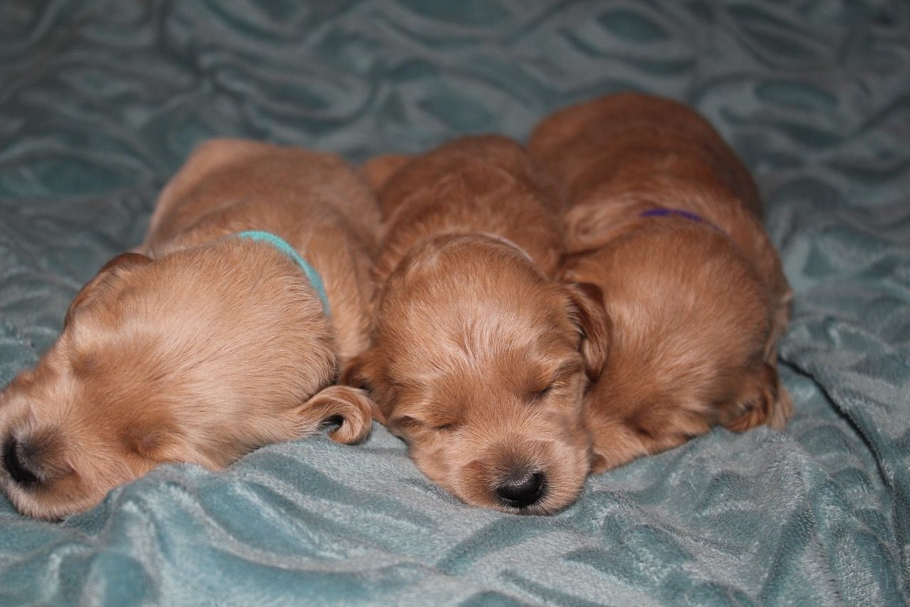 Australian Labradoodles Puppies for Sale http//www