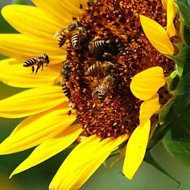 Sunflowers: a large source of pollen for bees, especially good for late in the season.