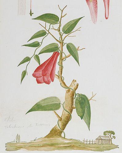 El Copihue, Planta trepadora con grandes flores de color rojo ...