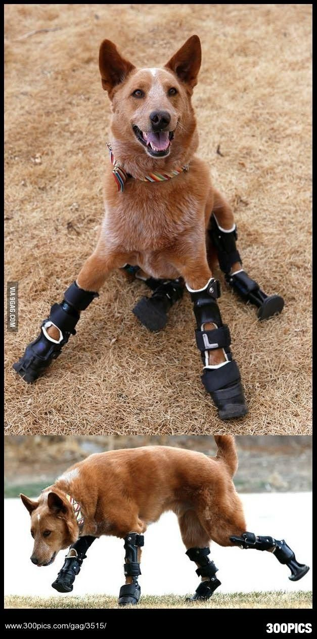 A dog has 4 prosthetic legs and able to run around happily - 300Pics