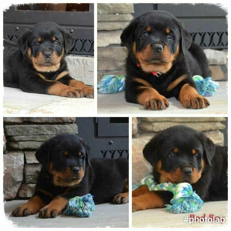 Rottweiler Puppy For Sale In Morganton Nc Adn 30064 On Puppyfinder