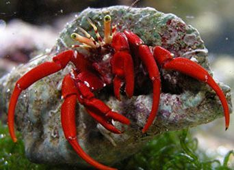 Saltwater Crabs Are Essential To The Clean Up Crew Which Eliminates The Need For Aquarists To Siphon And Scrub Daily For Remova Hermit Crab Crab Marine Animals