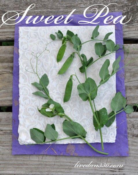 Kitchen Garden Beauty - Sweet Pea. ❤️ @hoefleholli