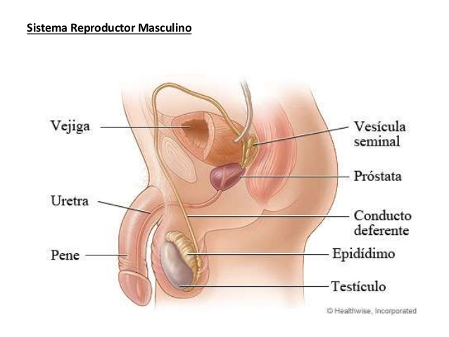 Fisiología 2020 Aparato Reproductor Masculino Anatomía Del Aparato Reproductor Masculino Fisiología Sexualmente Anatomía