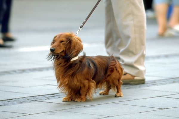 Origin Of The Dachshund History Temperament Weight Color