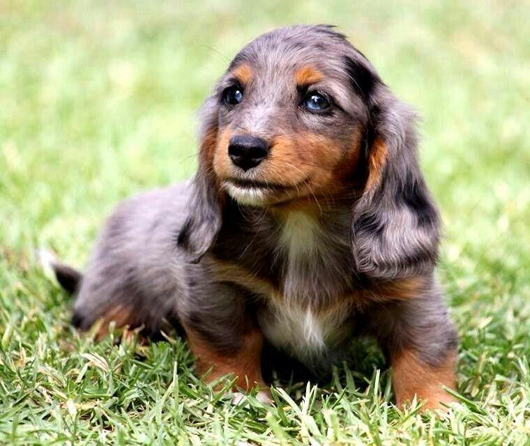 Skyler Gustav S Dachshund World And Friends Dachshund Puppies