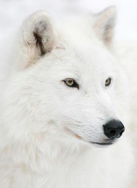 Louve Blanche White Wolf Chien Loup Blanc Loup Blanc
