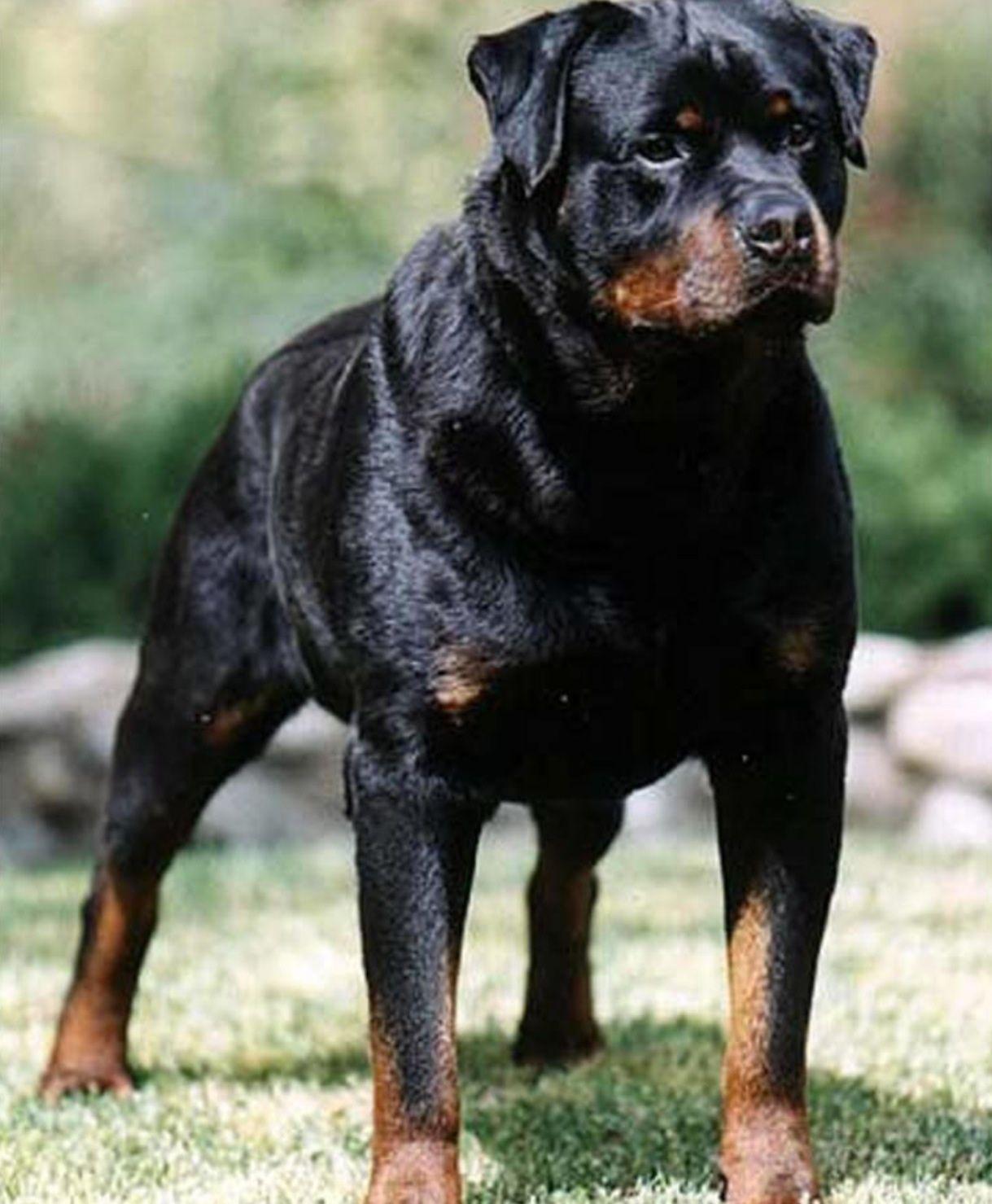 Top 5 Of The World S Largest Dog Breeds Dogs Dog Breeds Rottweiler Dog