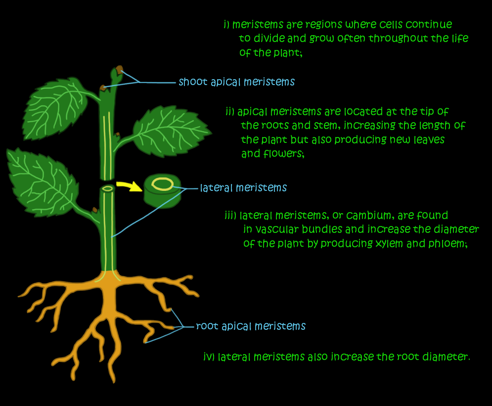 apical and lateral meristems Plant structure, Plants