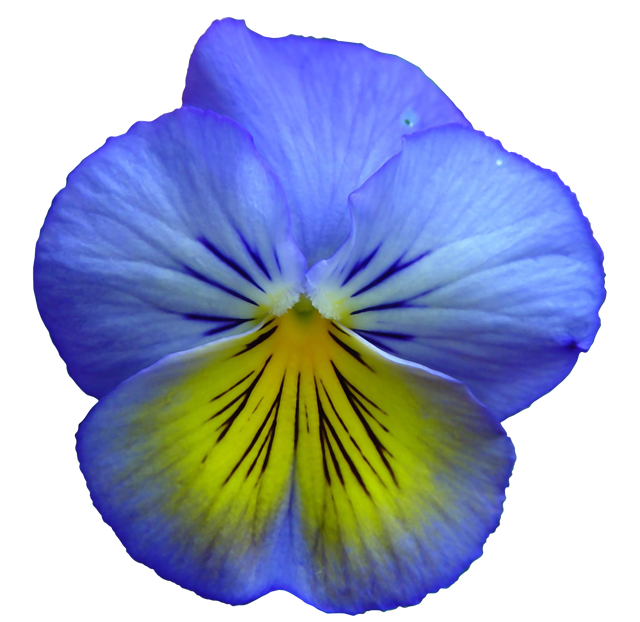 Free Image On Pixabay Pansy Flower Flowers Flower Clipart Pansies Flowers Pansies