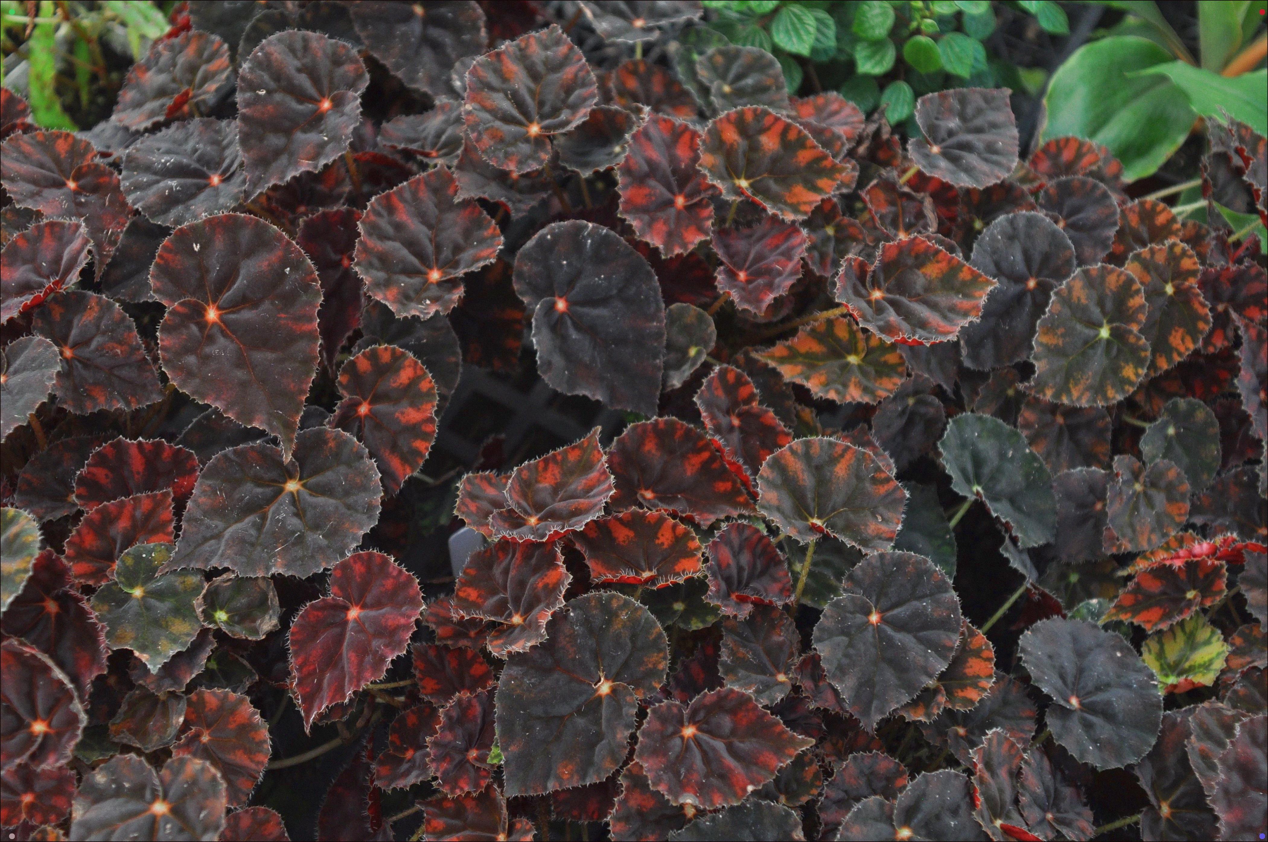 Begonia 'Copper Sunset' Begonia, Plants, Leaves
