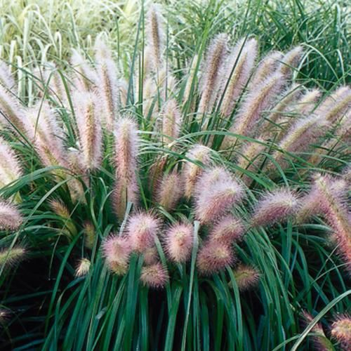 Pics for red fountain grass for Red ornamental grasses perennial