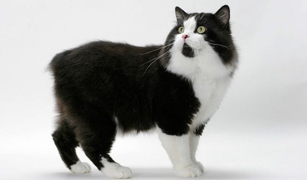 Manx Cat Black And White Color Pets Blog Cat Breeds Manx Cat