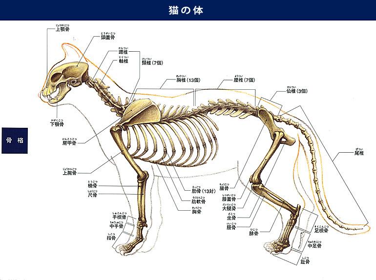 サービス終了のお知らせ 猫 骨格 動物解剖学 動物を描く