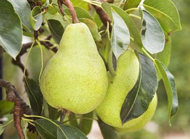 Week 41 - PYRUS - Pear tree - The most popular edible variety in South Africa is Packham's Triumph.  This is a large, green-yellow pear with conspicuous dark-green lenticels and the skin remains green, even when fully ripe.  The fruit has an irregular, knobbly appearance and the flesh is creamy-white with a fine, smooth texture.  It also has a long shelf life and stores well in a dark cupboard or fridge.