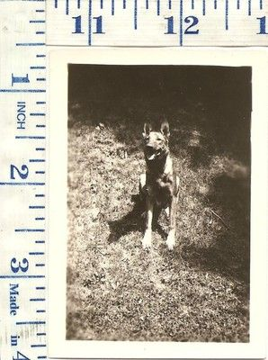 VINTAGE1940's Photograph Dog German Shepard Mix | eBay
