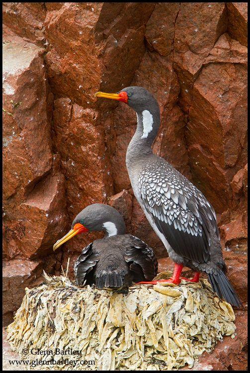 Red-legged Cormorant Glenn Bartley Nature Photography - Peru 2011