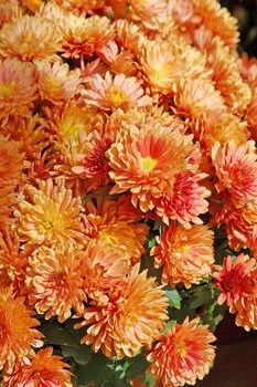 Chrysathemums Plus A List Of Other Plants Deer Don T Like May Eat Them