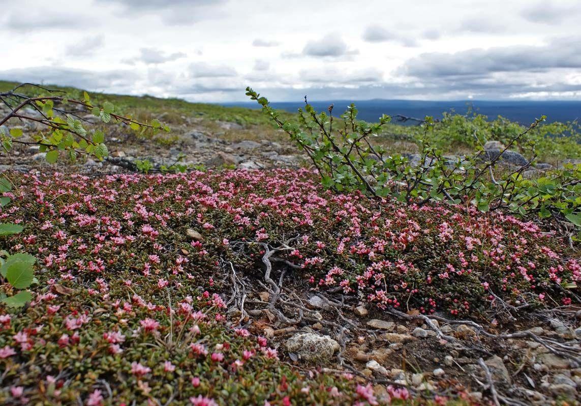 Alpine Azalea (Kalmia procumbens)  https://en.wikipedia.org/wiki/Kalmia_procumbens