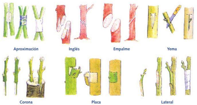 Reproduccion asexual de las plantas por injerto de plantas