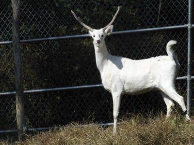 Photo of STRANGE ALBINO ANIMALS – DEER,  #Albino #albinoanimalawesome #animals #Deer #Strange