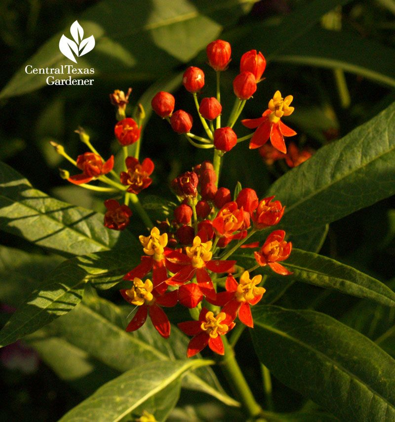 Doesn T Appear To Be A Potager But A Great Rooftop Design: Asclepias Curassavica, Nectar Plant For Many Insects