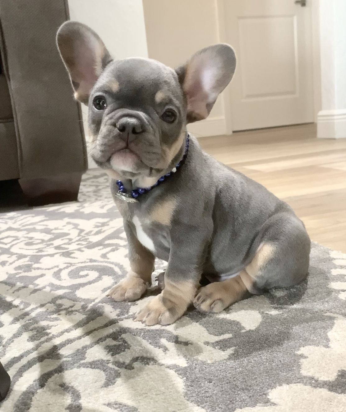 Pin By Poetic French Bulldog Puppies On Poetic French Bulldogs