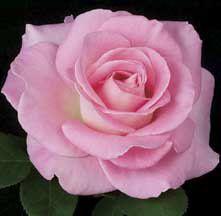 Hybrid Tea Roses   Falling In Love Hybrid Tea Rose   Edmunds' Roses
