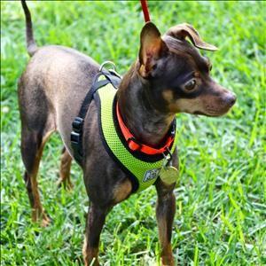 Taffy Dog Miniature Pinscher Chihuahua Mix Adult Female