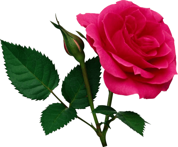 Pink Rose Png File Rose Flower Png Pink Rose Png Virtual Flowers