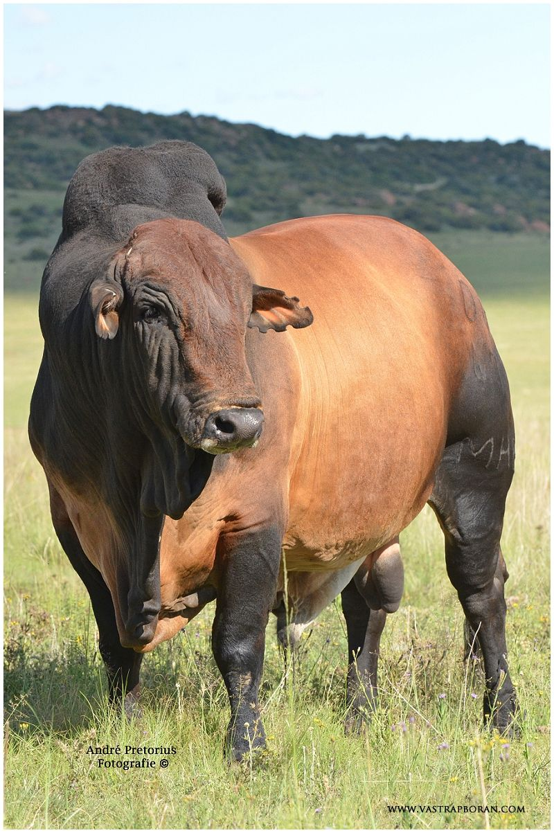 Goliat Mhb 06 47 In 2020 Cattle Farming Bull Cow Cow Photography