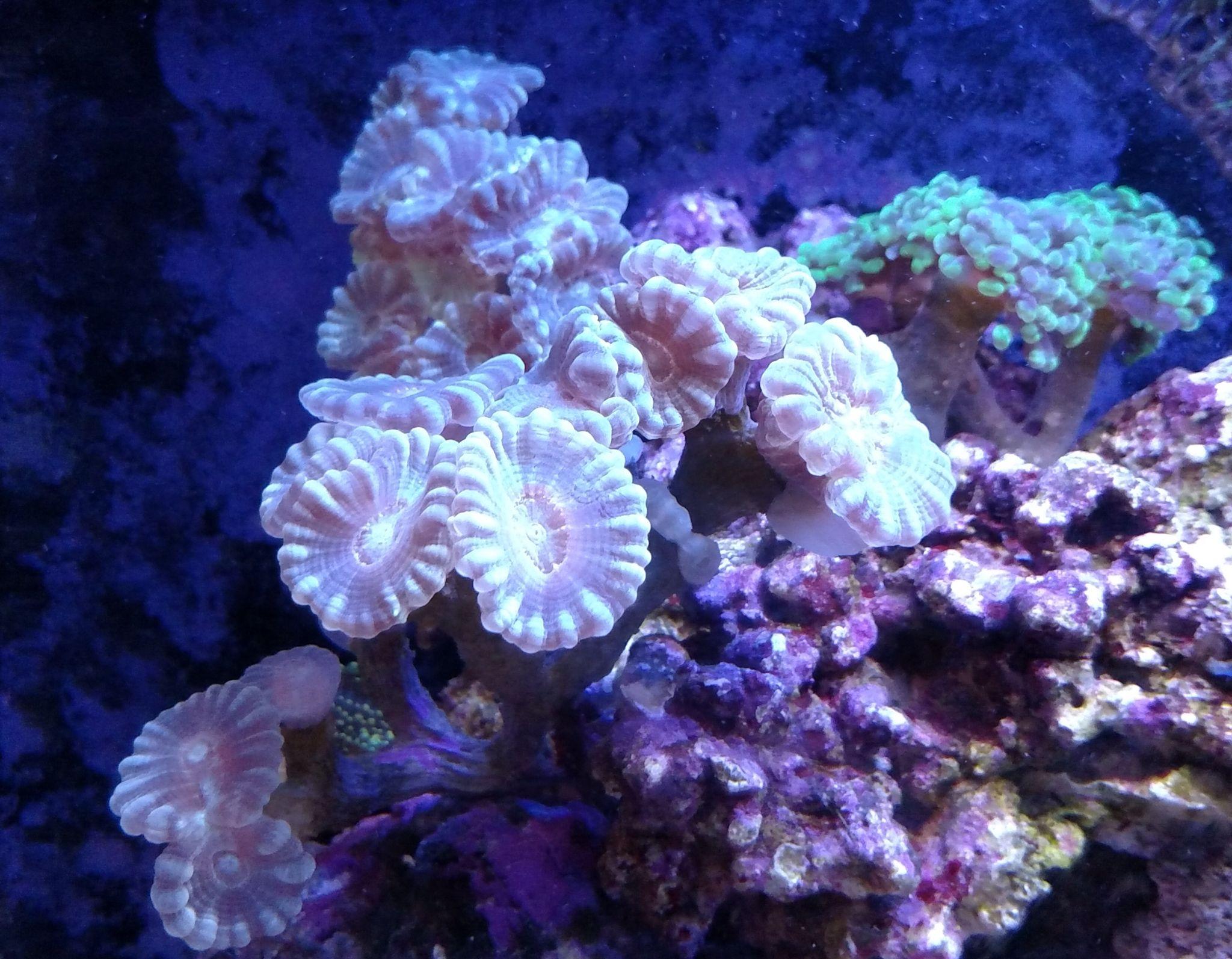 Candy Cane Coral Reef Tank Marine Life Saltwater Aquarium