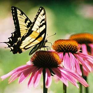 Easy-care coneflowers attract butterflies, hummingbirds and goldfinches! More easy-care plants: http://www.midwestliving.com/garden/flowers/native-midwest-plants/