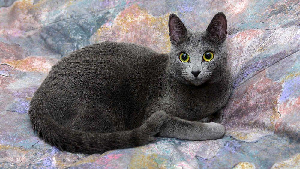 Russian Blue Cats Kittens Expensive Cat Breeds Here S A List Of Most Expensive Cat Breeds In The World That Will Make You Surpris Cat Breeds Cute Cat Breeds Russian Blue