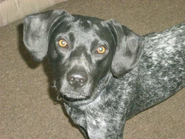 German Shorthairs, REWARD (Glyndon) If you know the where