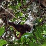 Por primera vez en video, el momento en que boa constrictor engulle un mono aullador