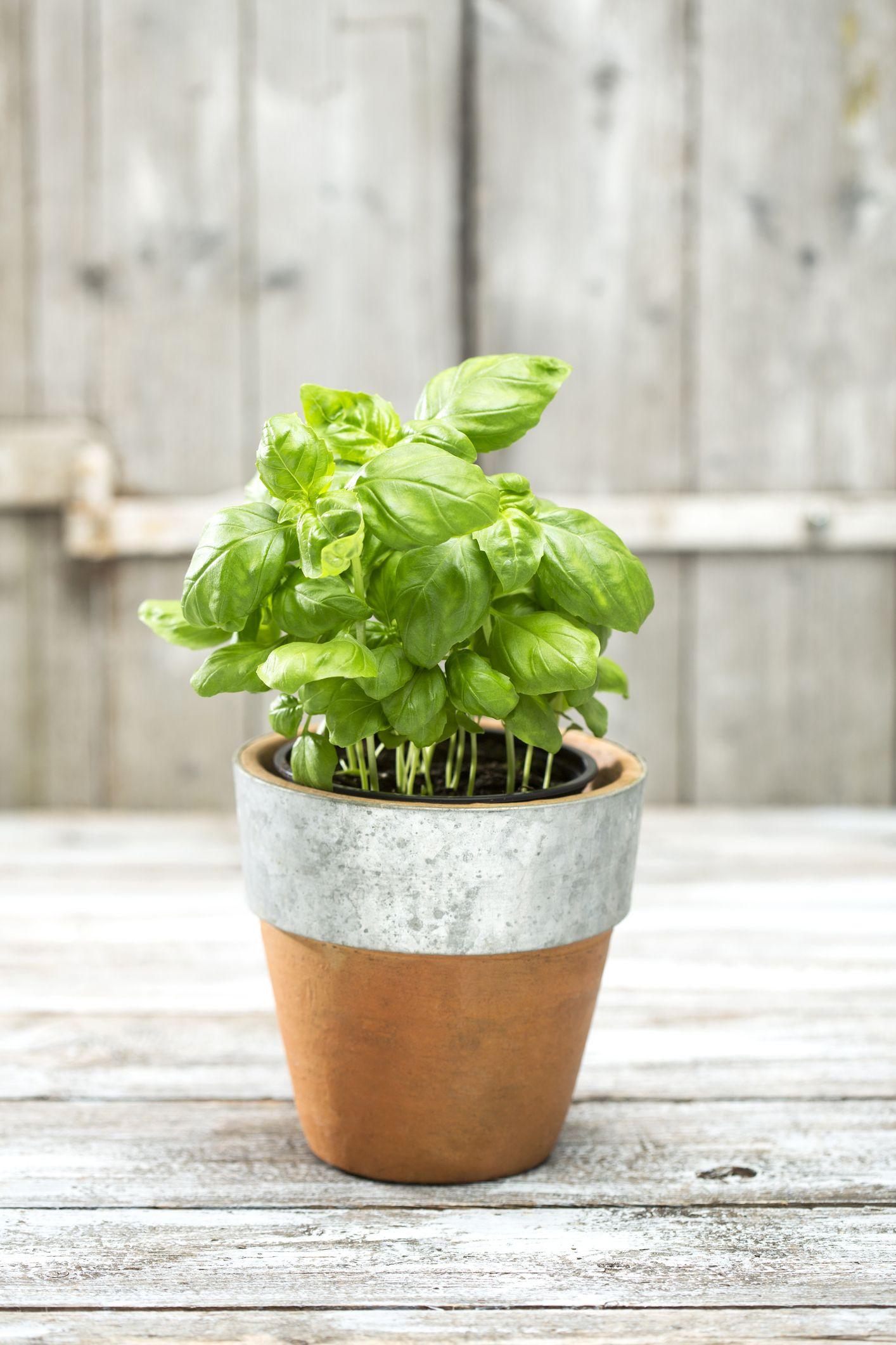 Épinglé sur Plantes aromatiques
