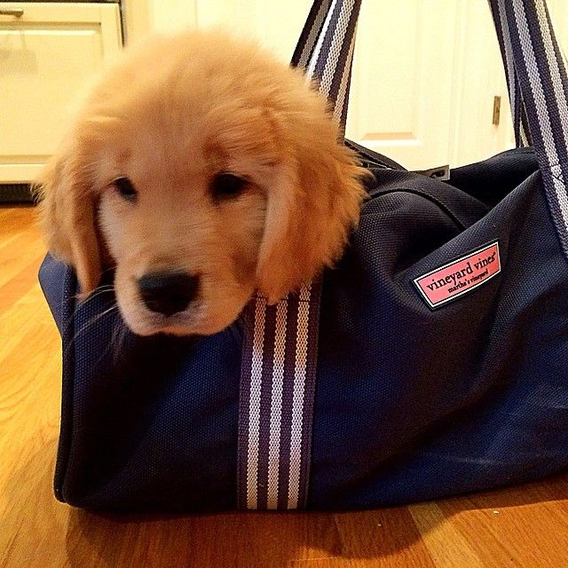 Golden Retriever And Vineyard Vines Pure Perfection Dogs