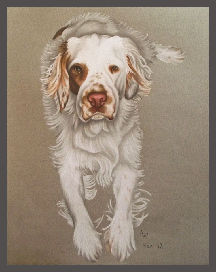 Clumber Spaniel dog drawing by Anne Wassell www.annewassellart.com Copyright