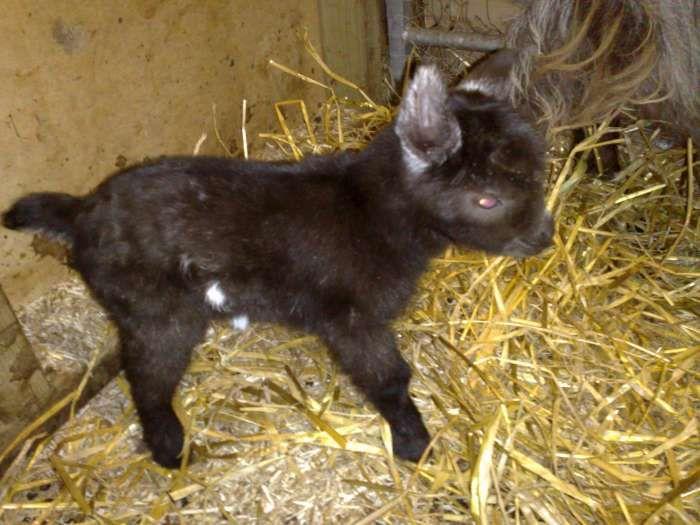 Baby Pygmy Goats for Sale |     pygmy goats links pygmy goat