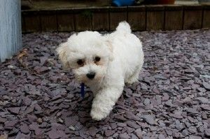 bichon frise puppies cost | Cute Baby Animals | Best small