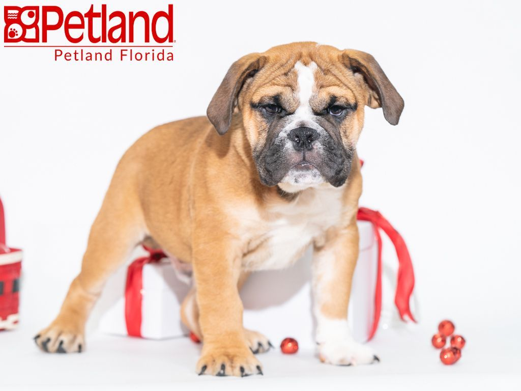 Petland Florida Has Valley Bulldog Puppies For Sale Check Out All