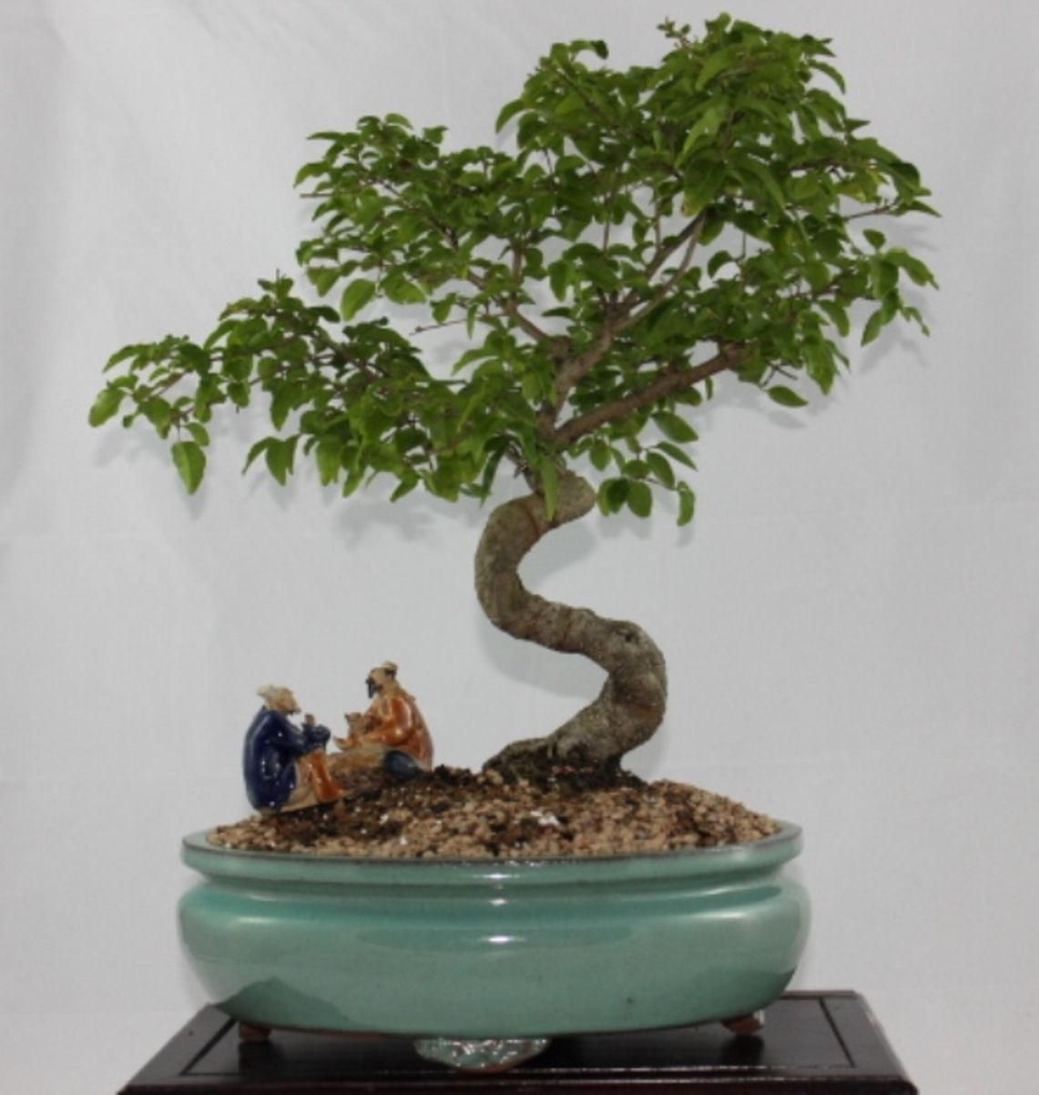 Sageretia Theezans Is Also Known As The Chinese Sweet Plum Or The Bird Plum The Chinese Sweet Plum Has A Very Pleasing Indoor Bonsai Popular Tree Bonsai Art