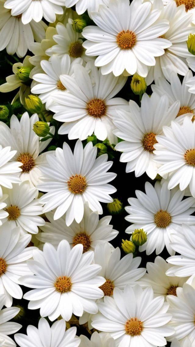 White Daisies Beautiful Flowers Flower Wallpaper Pretty Flowers