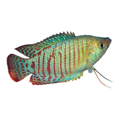 Dwarf Gourami I Have One Of These Little Guys At Home They Re Pretty Awesome Pet Fish Fish Tropical Fish Aquarium