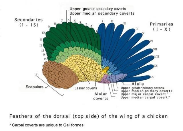 Diagram Of Chicken Wing Feathers - Search For Wiring Diagrams •