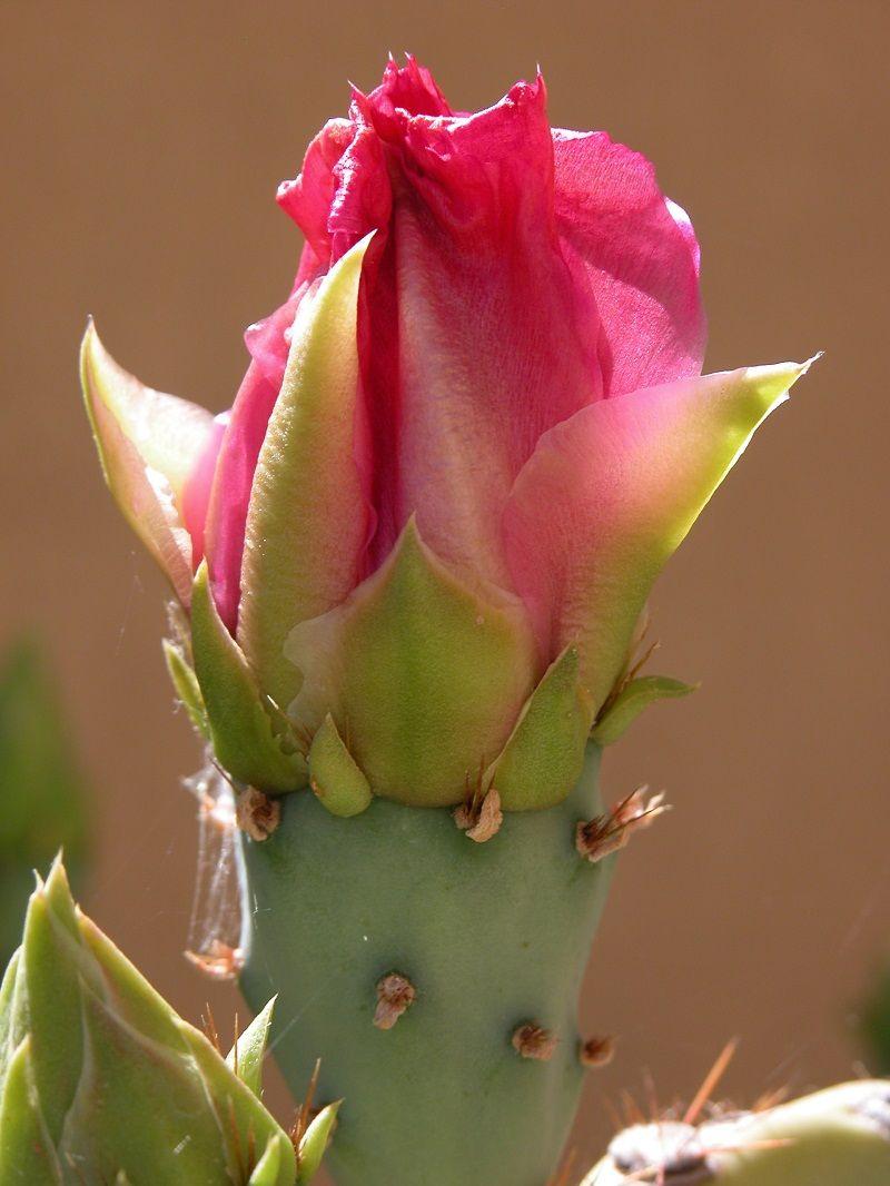 Cactus Flower Bud, Tucson AZ Cactus flower, Flower bud