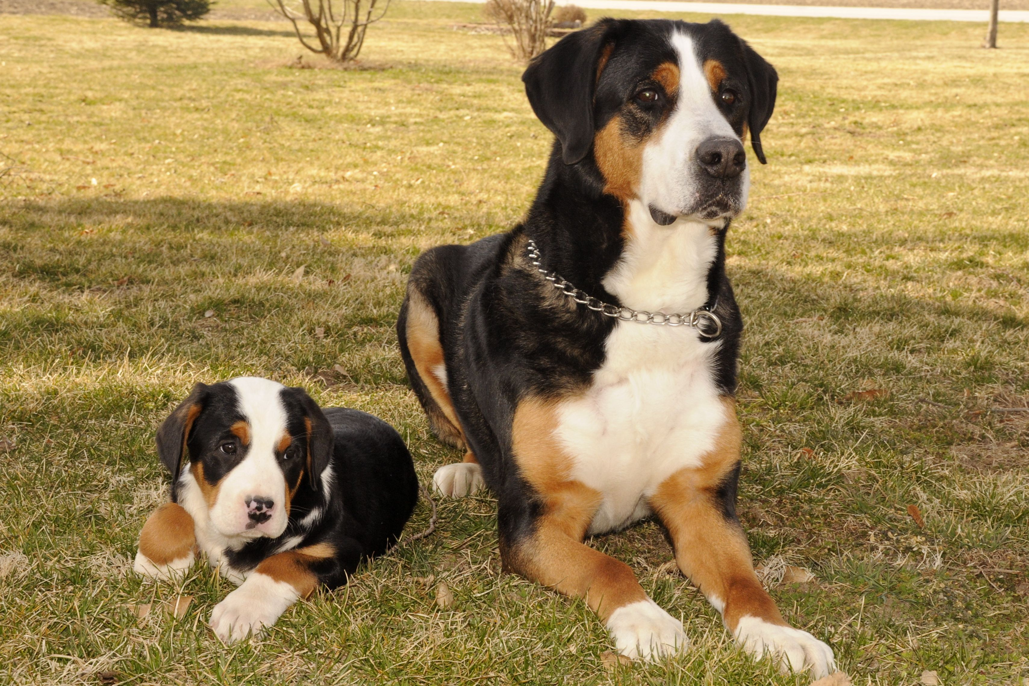 Greater Swiss Mountain Dog And Puppy Cute Animals Puppies Dog Life